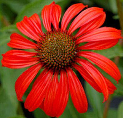 Echinacea is good for a cold